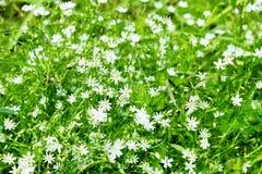 Ajardine flores bonitas do campo do fundo no verão ou no sp Imagens de Stock