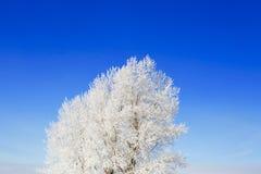 Ajardine a foto do as árvores cobertas na neve fresca Fotografia de Stock Royalty Free