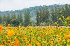 Ajardine a ideia do campo de flor amarelo com pinheiro verde e m Fotos de Stock Royalty Free