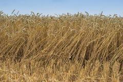 Ajardine a imagem do amarelo riped e do campo de trigo secado apenas colhido pelo harvestor da liga Fotografia de Stock