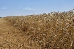 Ajardine a imagem do amarelo riped e do campo de trigo secado apenas colhido pelo harvestor da liga Imagens de Stock Royalty Free