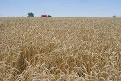 Ajardine a imagem do amarelo riped e do campo de trigo secado apenas colhido pelo harvestor da liga Foto de Stock