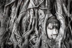Ajardine, la estatua principal de Wat Maha That Buda del árbol de Buda atrapada en raíces del árbol de Bodhi Parque histórico de  fotos de archivo libres de regalías