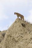Ajardine la imagen del león de montaña encima de canto del barranco Fotografía de archivo