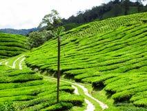 Ajardine la opinión del panorama del campo de la plantación de té verde Fotos de archivo libres de regalías