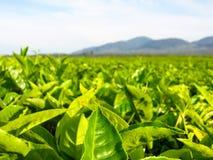Ajardine la opinión del panorama del campo de la plantación de té verde Foto de archivo libre de regalías
