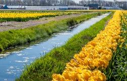Ajardine na região holandesa do bulbo de flor com t de florescência amarelo Foto de Stock Royalty Free