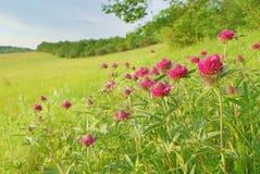Ajardine no prado com o close up das flores do vermelho na mola Fotografia de Stock