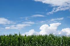 Ajardine o campo de milho no fundo do céu azul com nuvens Foto de Stock Royalty Free