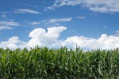 Ajardine o campo de milho no fundo do céu azul com nuvens Imagens de Stock