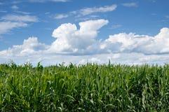Ajardine o campo de milho no fundo do céu azul com nuvens Foto de Stock