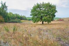Ajardine o carvalho verde da árvore no prado no dia nebuloso do outono em selvagem Fotos de Stock Royalty Free