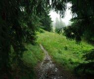 Ajardine o dia chuvoso na floresta verde do abeto vermelho da montanha Imagem de Stock Royalty Free