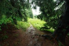 Ajardine o dia chuvoso na floresta verde do abeto vermelho da montanha Imagem de Stock