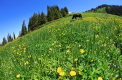 ajardine o fundo com as flores amarelas frescas na pastagem Imagem de Stock Royalty Free