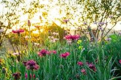 Ajardine o fundo da natureza do campo de flor cor-de-rosa bonito com Fotografia de Stock