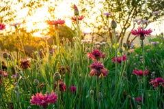 Ajardine o fundo da natureza do campo de flor cor-de-rosa bonito com Imagem de Stock