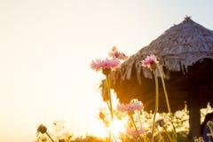 Ajardine o fundo da natureza do campo de flor cor-de-rosa bonito com Fotografia de Stock Royalty Free