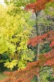 Ajardine o outono japonês com as árvores coloridas da nogueira-do-Japão & de bordo Imagens de Stock Royalty Free