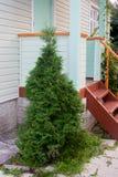 Ajardine o projeto em um jardim - plante um thuja Imagens de Stock Royalty Free