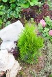 Ajardine o projeto em um jardim - plante um thuja Imagem de Stock Royalty Free