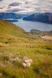 Ajardine a opinião o lago Wanaka, as montanhas e os carneiros, NZ Fotografia de Stock Royalty Free