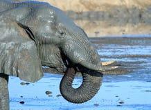 Ajardine a opinião um elefante com beber ondulado tronco em Hwage Foto de Stock Royalty Free