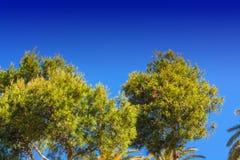 Ajardine, partes superiores da árvore dos pinheiros e palmeiras Fotos de Stock