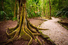 Ajardine raizes e o caminho velhos da árvore da selva da vista Fotografia de Stock
