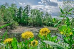 Ajardine, salte na costa do lago as flores amarelas dos dentes-de-leão Imagens de Stock Royalty Free