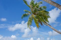 Ajardine una palmera verde contra la perspectiva del cielo azul hermoso fotografía de archivo libre de regalías