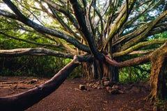 Ajardine a vista da árvore de floresta grande velha com ramos longos Imagens de Stock