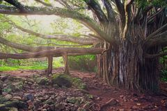 Ajardine a vista da árvore de floresta grande velha com ramos longos, Havaí Foto de Stock Royalty Free