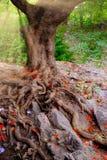 Ajardine a vista da árvore velha com grandes raizes e as folhas coloridas Foto de Stock Royalty Free