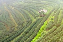 Ajardine a vista na plantação de chá 2000 na manhã em um nevoento Imagens de Stock Royalty Free