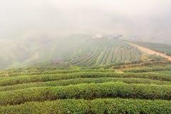 Ajardine a vista na plantação de chá 2000 na manhã em um nevoento Imagem de Stock