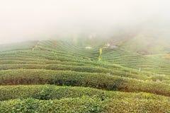 Ajardine a vista na plantação de chá 2000 na manhã em um nevoento Fotografia de Stock Royalty Free