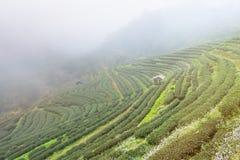 Ajardine a vista na plantação de chá 2000 na manhã em um nevoento Fotos de Stock Royalty Free