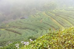 Ajardine a vista na plantação de chá 2000 na manhã em um nevoento Fotos de Stock