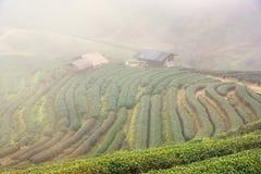 Ajardine a vista na plantação de chá 2000 na manhã em um nevoento Imagens de Stock