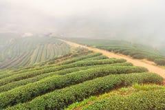 Ajardine a vista na plantação de chá 2000 na manhã em um nevoento Foto de Stock Royalty Free