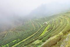 Ajardine a vista na plantação de chá 2000 na manhã em um nevoento Fotografia de Stock