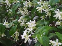 With a scent of Jasmin. AJasmin plant with exquisite scent from my pot royalty free stock photos