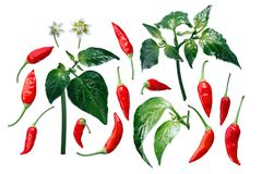 Aji Brazilian Bonanza pepper elements, paths. Aji Brazilian Bonanza pepper C. baccatum, exploded view elements. Clipping paths for each piece Stock Image