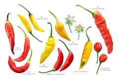 Aji peppers C. baccatum set, paths. Aji chile peppers Capsicum baccatum collection. Clipping paths for each Royalty Free Stock Photos