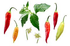 Aji Cristal chile-Capsicum baccatum elements, paths. Aji Cristal pepper Capsicum baccatum plant, pods, flower, exploded view elements. Clipping path for each stock photography