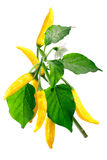 Aji Lemon Dop Capsicum baccatum, path Royalty Free Stock Photo