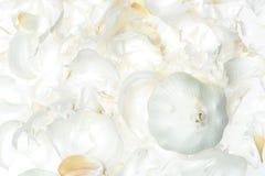 Ajo aislado en blanco Imagen de archivo libre de regalías