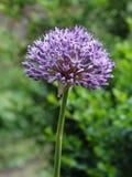 ajo Azul-florecido Imagen de archivo libre de regalías