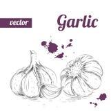 Ajo dibujado mano del estilo del bosquejo Ejemplo del vector de la comida del eco del vintage Ajo maduro Imagen de archivo